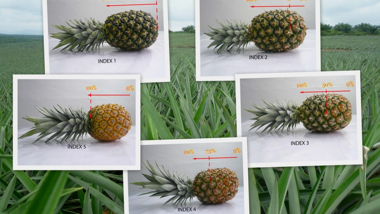 Color Range of MD2 Pineapple